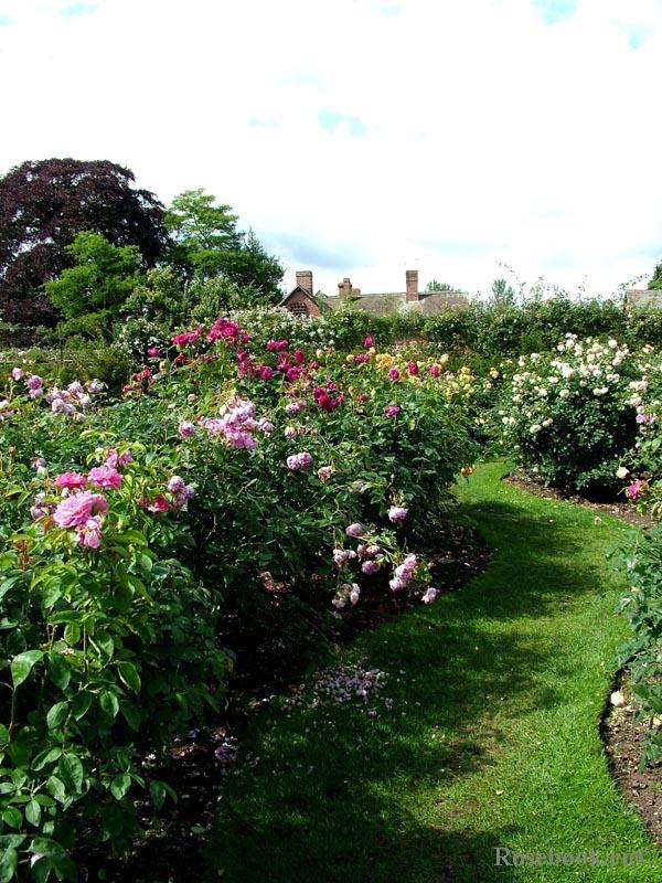 Английские розы в миксбордерах