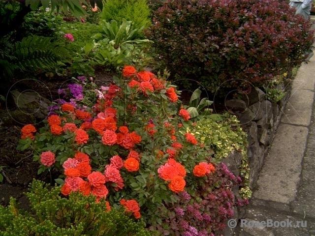 патио розы сорта фото