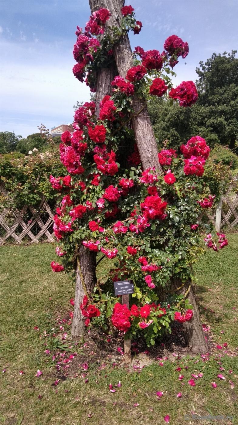 Как посадить плетистую розу летом: видео инструкция 77