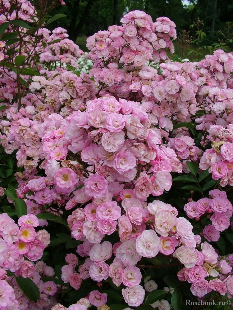 Мускусные гибриды розы