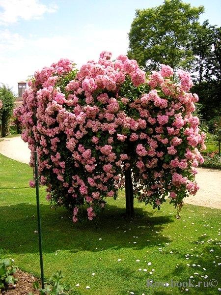 Сажены роз