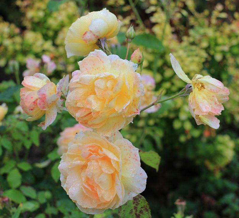 Роза molineux энциклопедия роз
