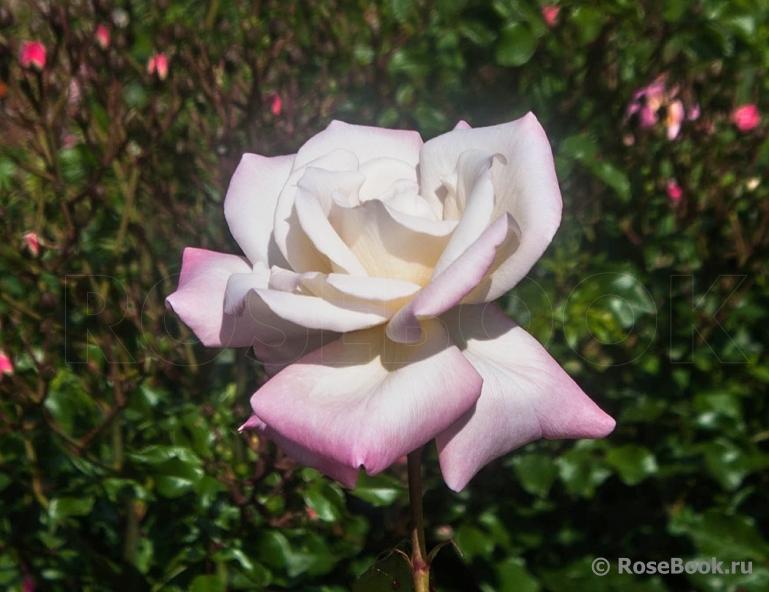 Тайфун роза энциклопедия роз