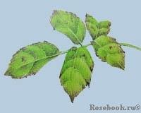Недостаток цинка у растений
