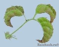 Дефицит кальция у растений