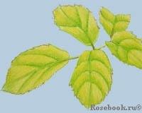 Дефицит железа у растений