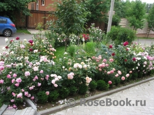 Сажая розы Дэвида Остина в нашем климате, важно помнить, что высота его роз в конечном итоге часто не соответствует...