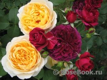 Современные розы мировая энциклопедия купить подарок мужчине на 72 года