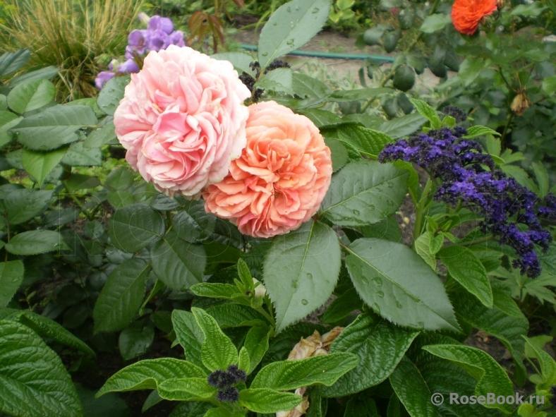 Роза мэри энн энциклопедия роз