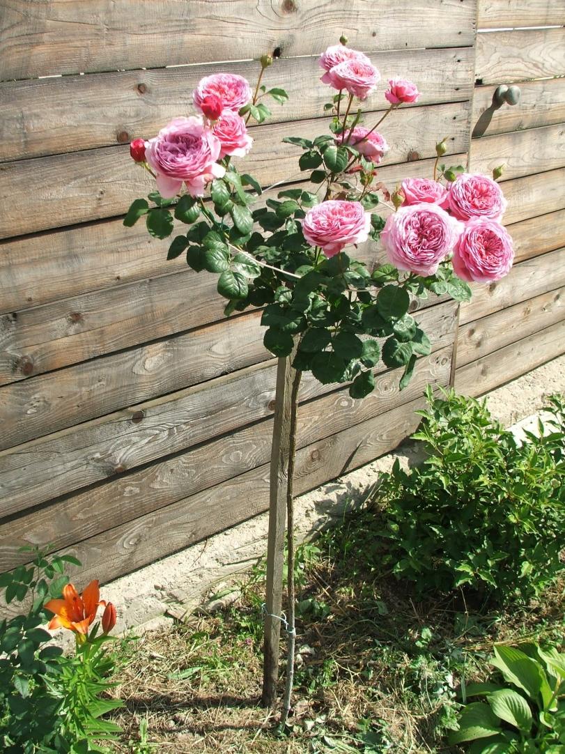 Штамбовые розы своими руками