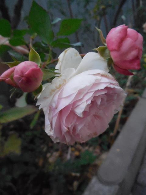 Роза ингрид бергман энциклопедия роз