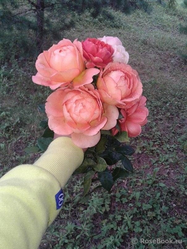 Как ухаживать за розами в первый год посадки