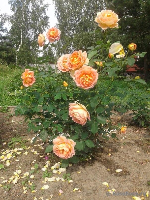 Леди оф шалот энциклопедия роз