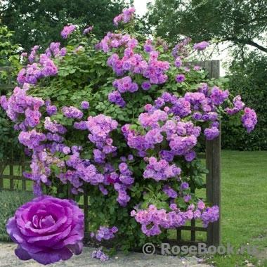 Плетущаяся роза купить
