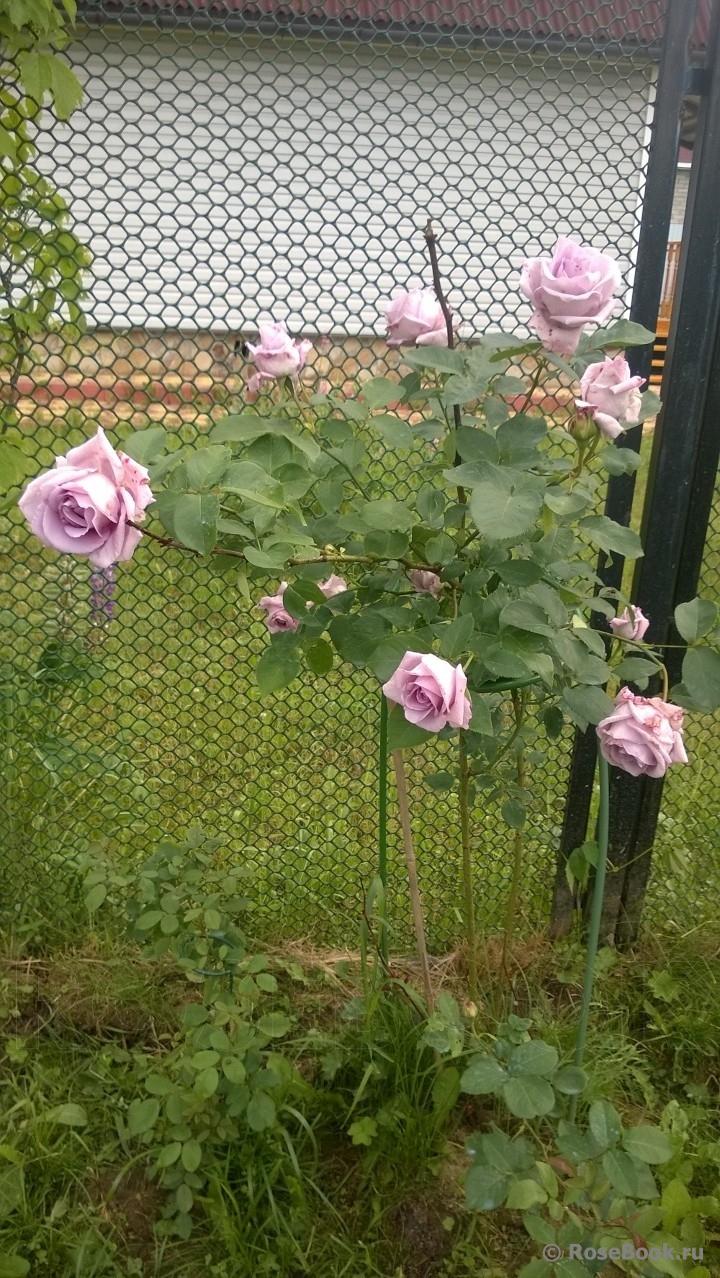 схема укрытия штамбовой розы