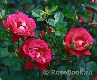 Розы клименко купить живые цветы оптом тепличное изображения
