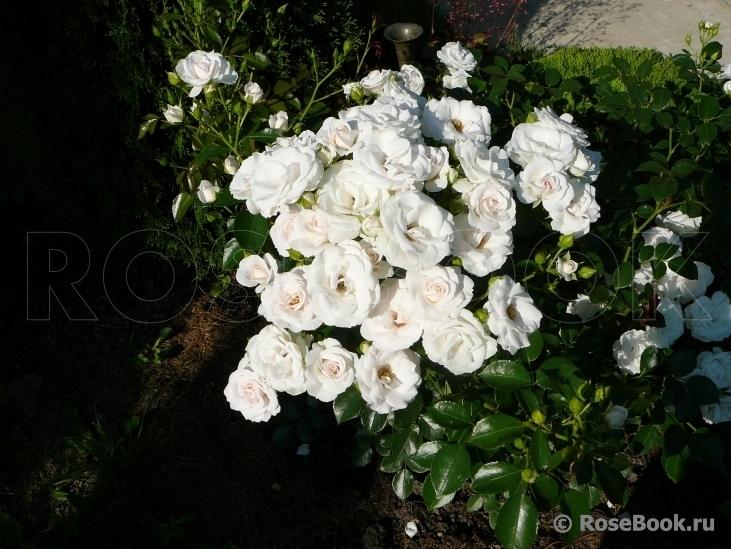 Роза лавли ред энциклопедия роз