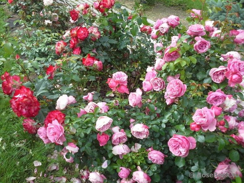 На каком расстоянии сажать кустовые розы друг от друга 42