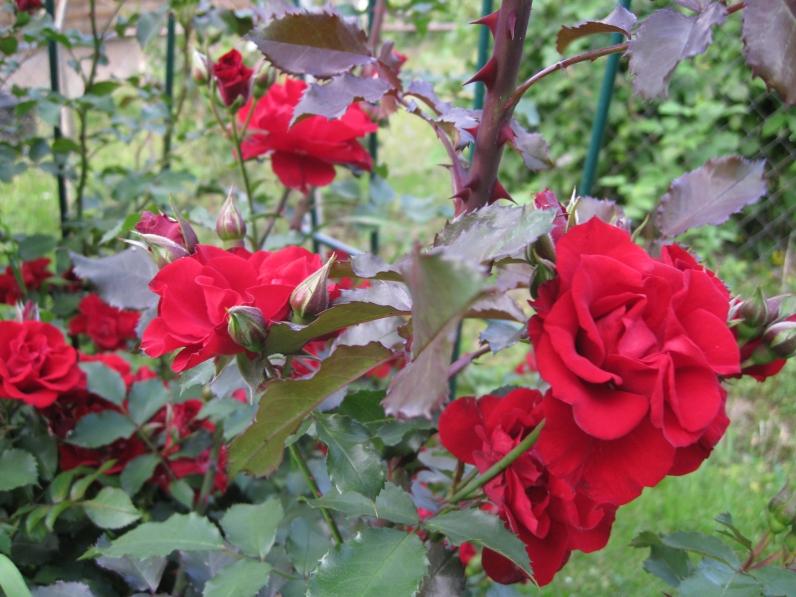 rose roter korsar