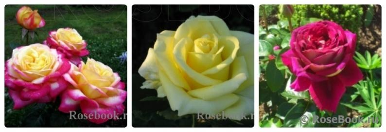 Роза элина энциклопедия роз