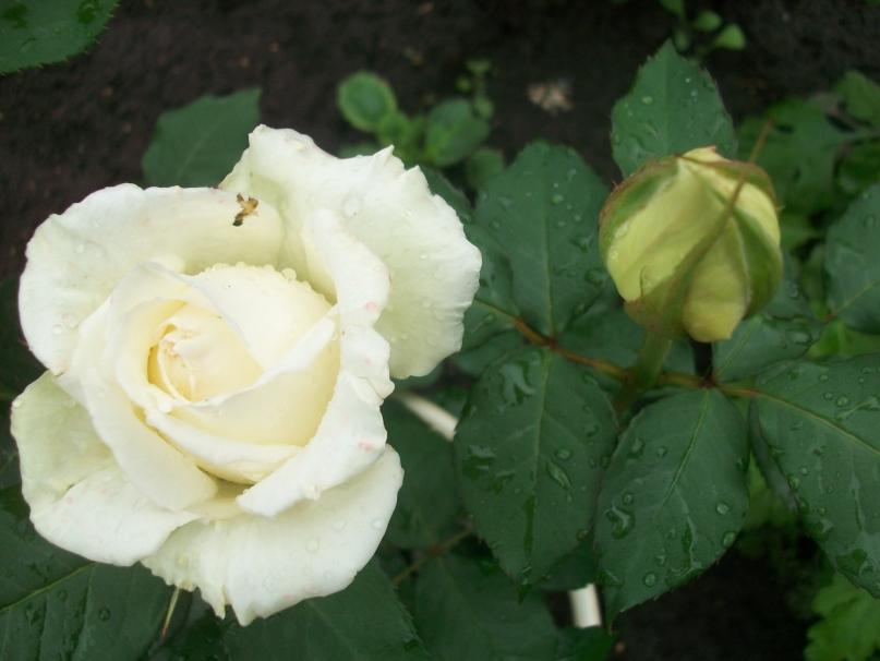 Купить плетистые розы полька в краснодарском крае дешево доставка москве цветов