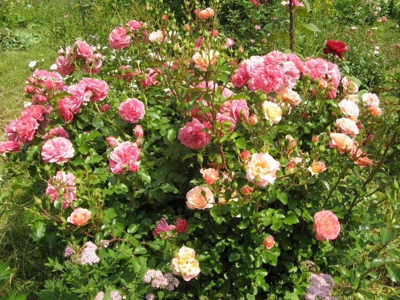 Розы не растут почему