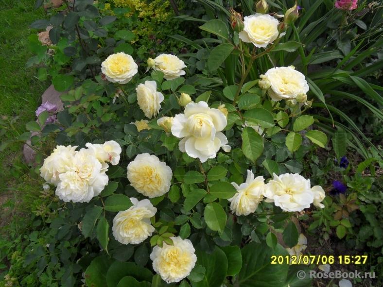 Зе пилигрим роза энциклопедия роз