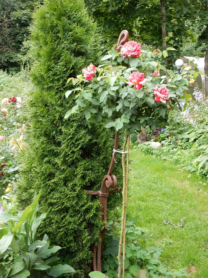 Штамбовые розы своими руками фото 424
