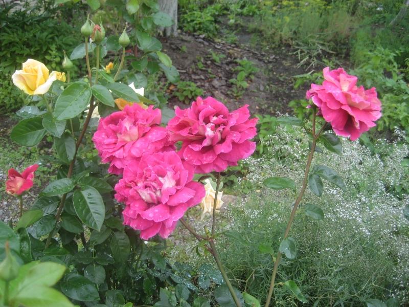 Роза императрица фарах энциклопедия роз