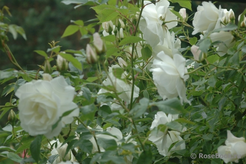 роза айсберг плетистая