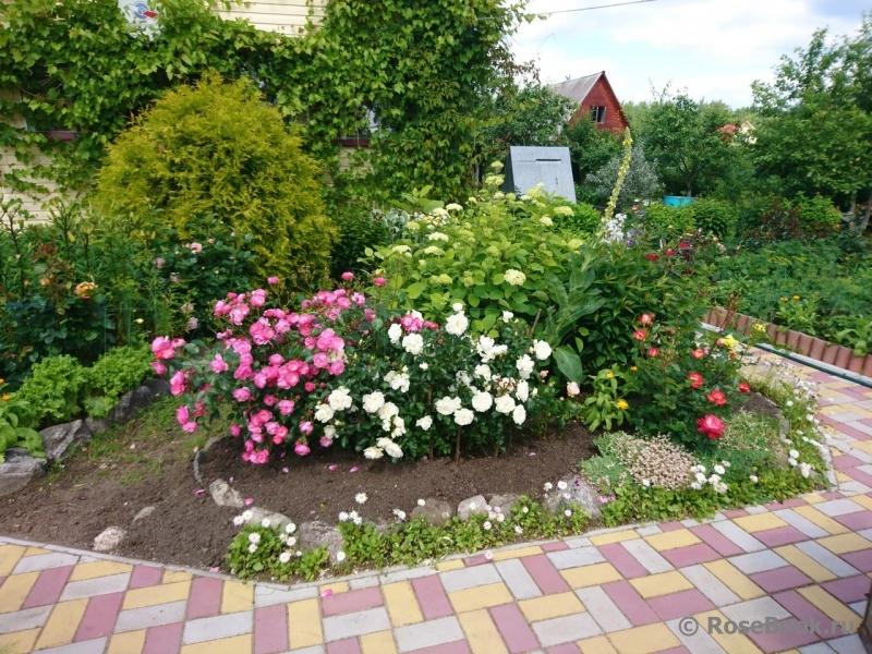 Можно ли гортензию сажать рядом с розами 37