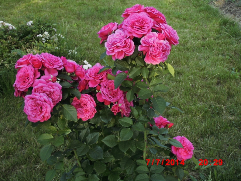 Роза изабель ренессанс
