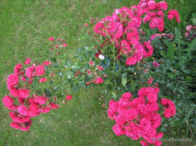 Роза gartnerfreude на подпорной стенке