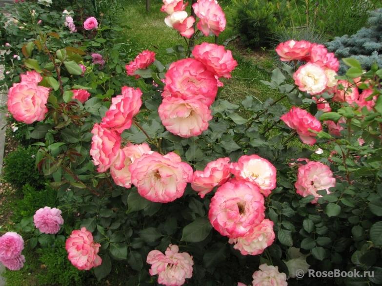 Роза пинк свани отзывы