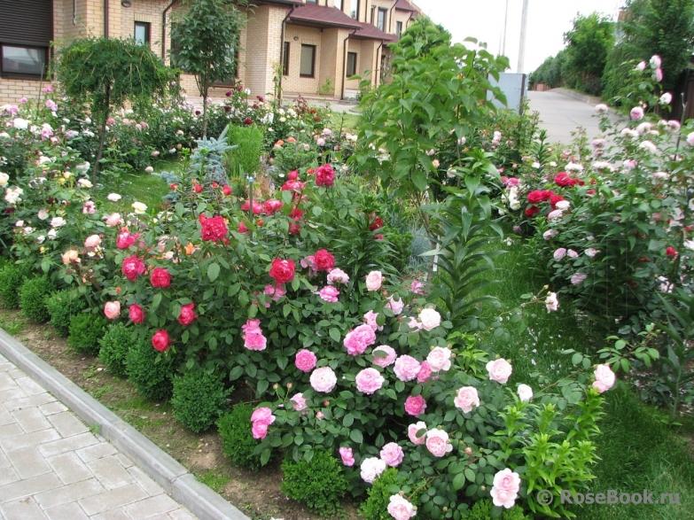 Уход за бордюрными розами в домашних условиях 338