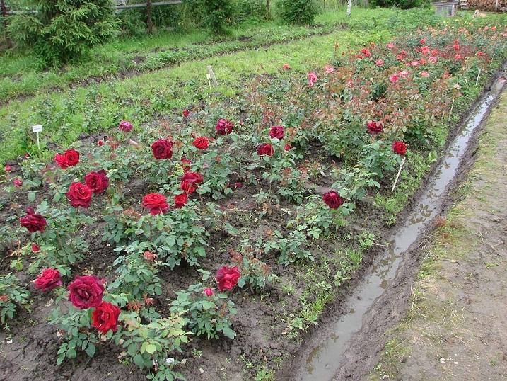 Выращивание роз на даче в подмосковье