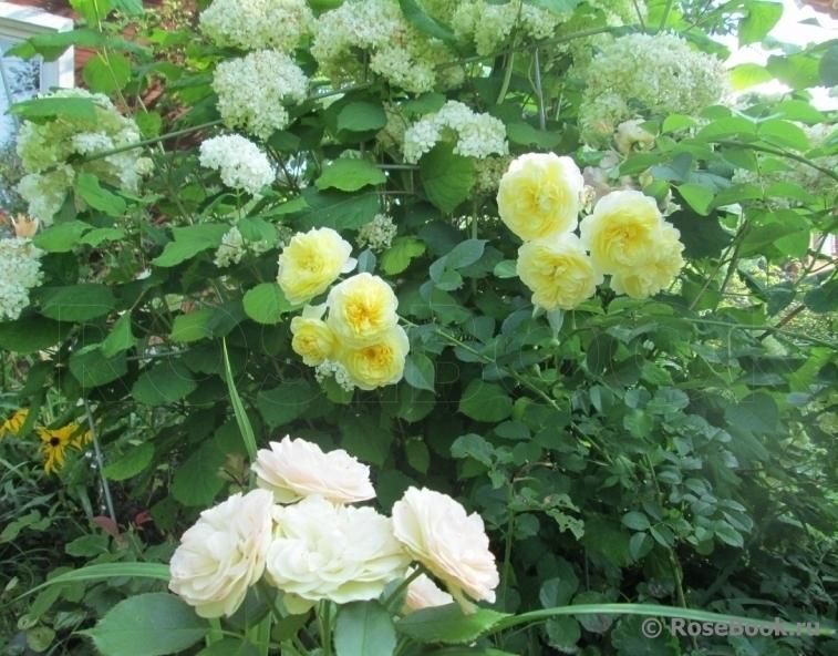 Можно ли гортензию сажать рядом с розами 47