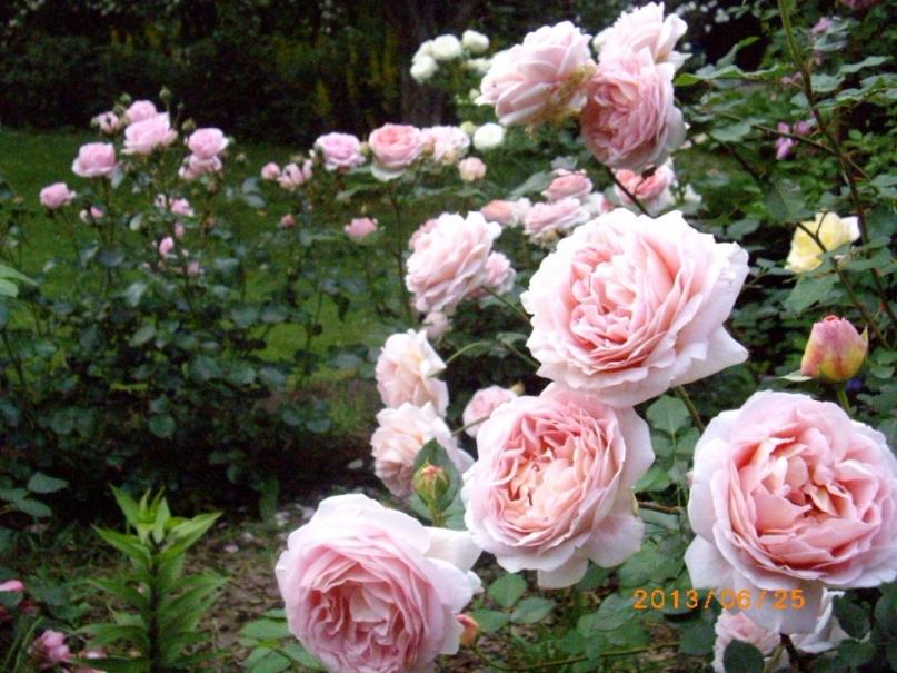 Нежные спокойный оттенки позволяют с легкостью сочетать все сорта остина на одной клумбе, сохраняя гармонию и изысканность сада.