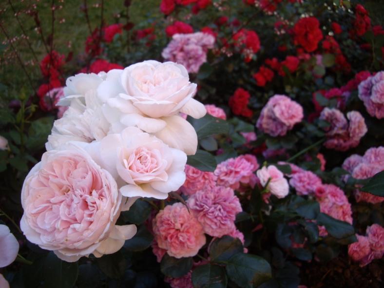 Синдерелла роза отзывы
