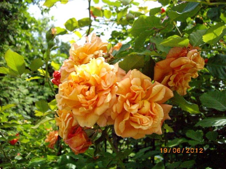 Купить плетистую розу цена