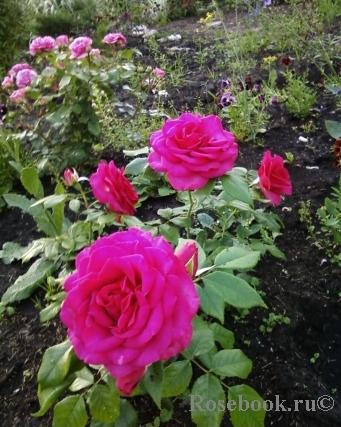 Сербские розы - монтеагро купить купить искусственные цветы в горшке в москве