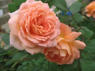 Роза утро парижа энциклопедия роз