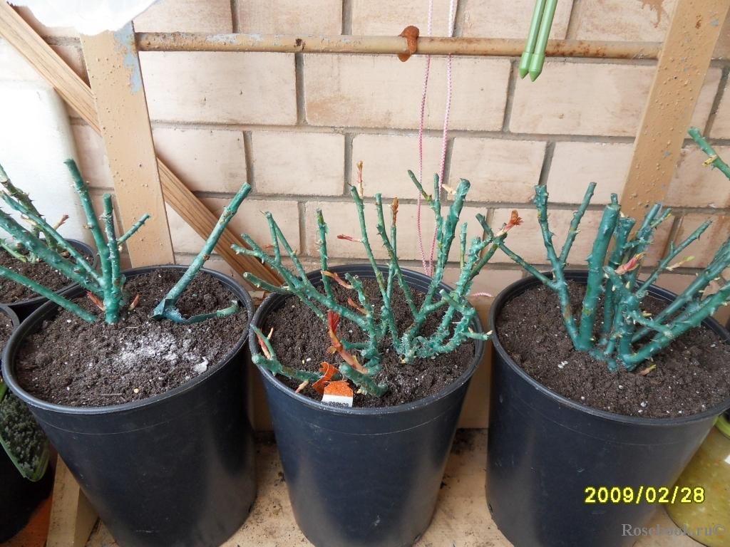 Выращивание роз в теплице на продажу - рентабельность, прави.