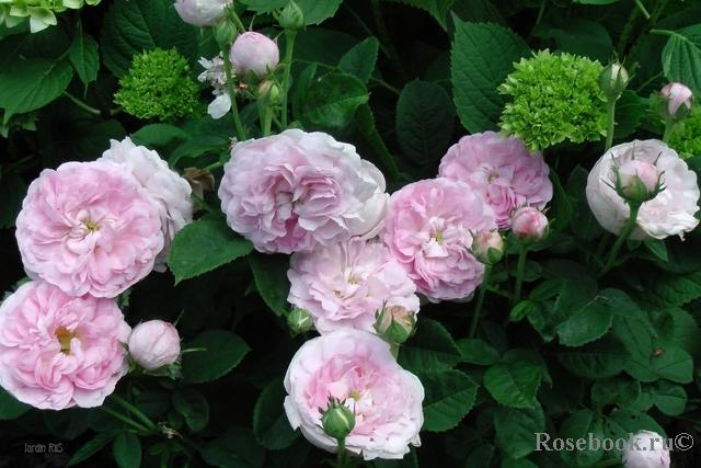 Роза томас шанталь энциклопедия роз