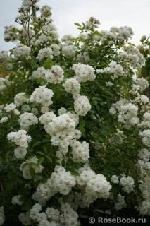 Роза гирлянд де. амур