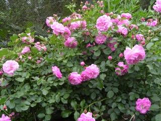Роза сван лейк энциклопедия роз