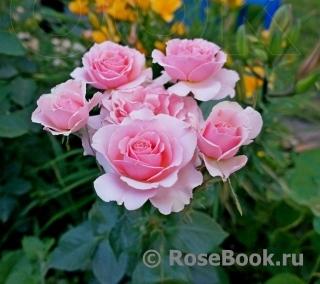 Нью джерси питомник роз на осень 2016