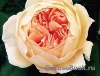 Максимовская татьяна розы каталог