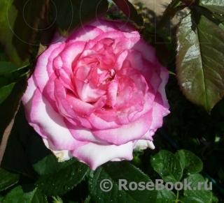 Саженцы розы патиенс купить купить тюльпаны оптом чернигов прайс