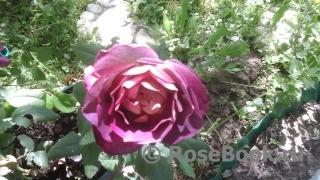 Дубрава интернет магазин розы